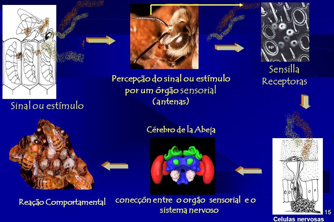 15 Percepção do sinal ou estímulo por um órgão sensorial (antenas) Celulas nervosas conecçón entre o orgáo sensorial e o sistema nervoso Cérebro de la