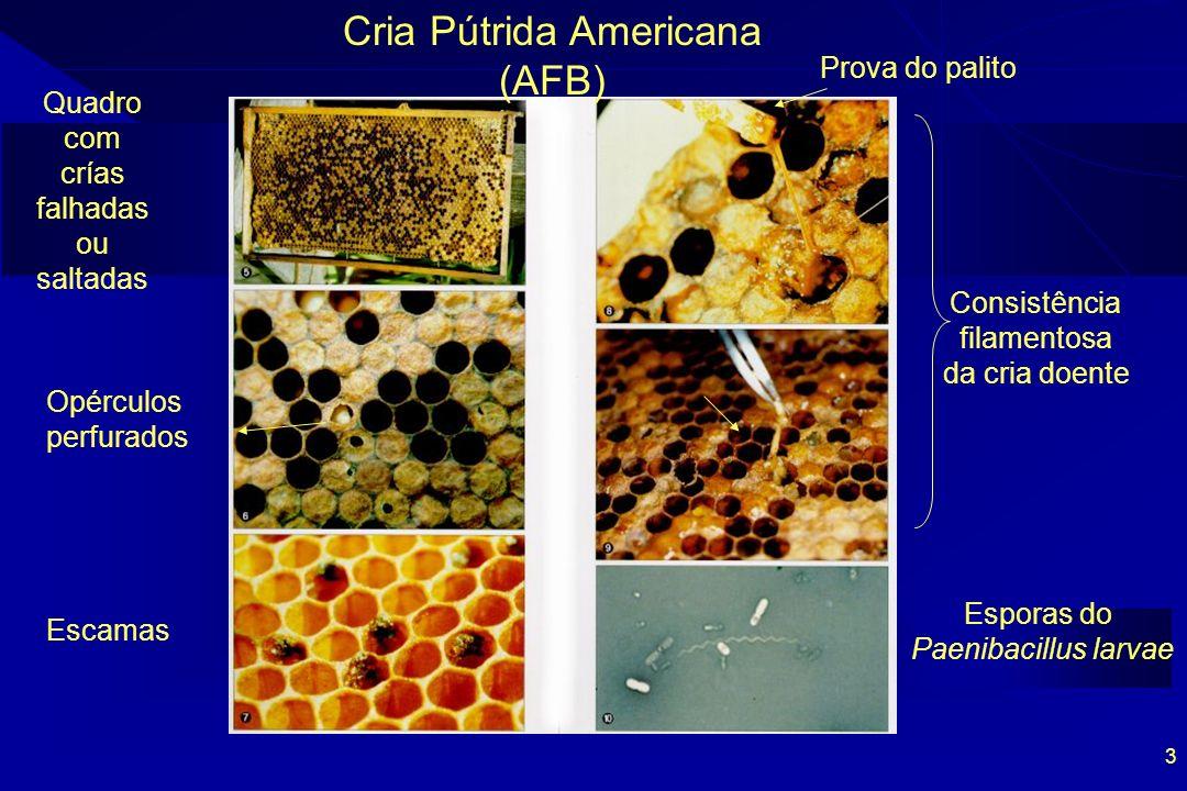 3 Cria Pútrida Americana (AFB) Esporas do Paenibacillus larvae Consistência filamentosa da cria doente Quadro com crías falhadas ou saltadas Escamas O