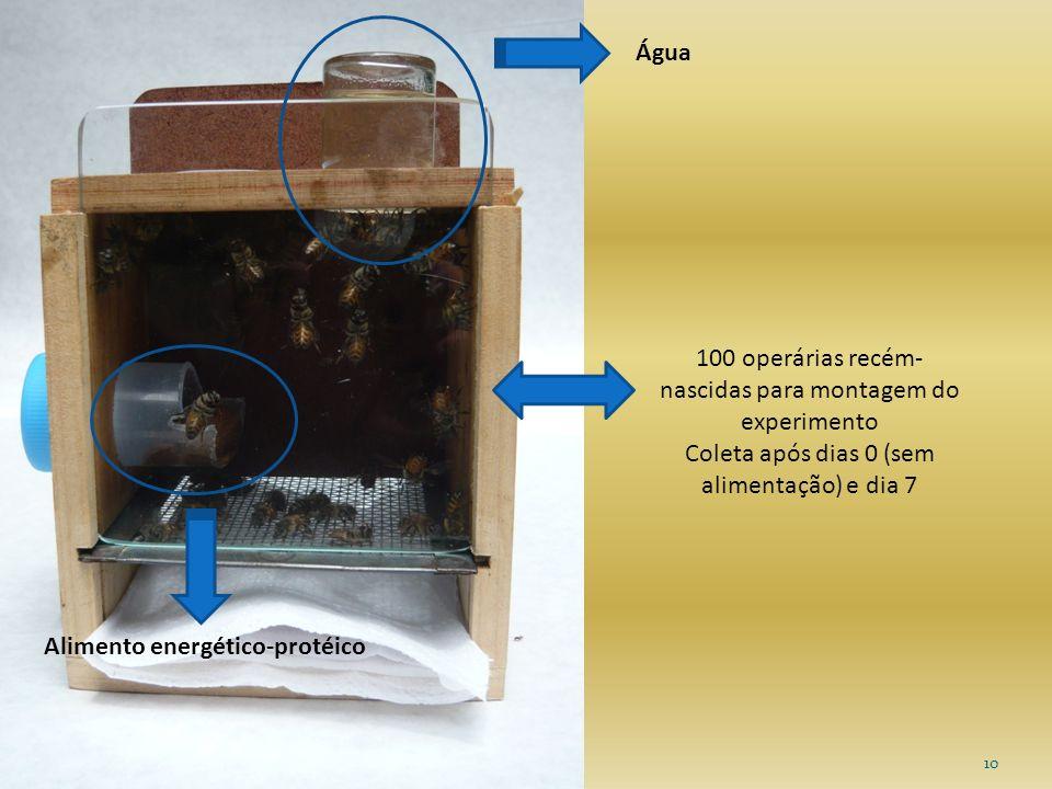 10 Alimento energético-protéico Água 100 operárias recém- nascidas para montagem do experimento Coleta após dias 0 (sem alimentação) e dia 7