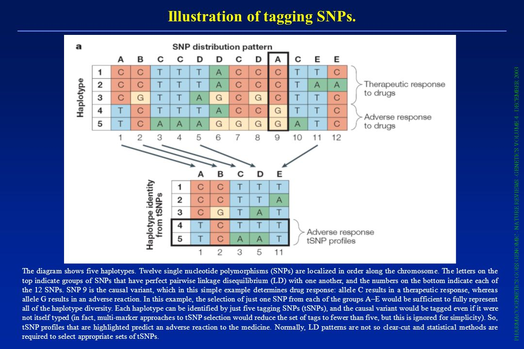 Illustration of tagging SNPs. The diagram shows five haplotypes. Twelve single nucleotide polymorphisms (SNPs) are localized in order along the chromo