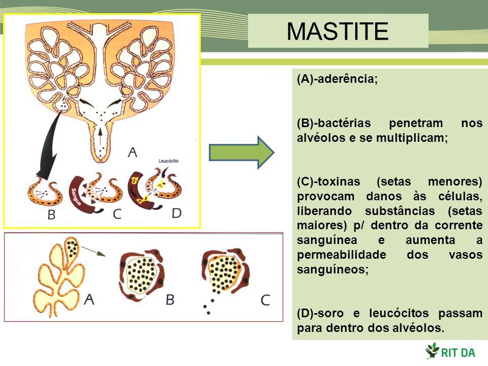 MASTITE (A)-aderência; (B)-bactérias penetram nos alvéolos e se multiplicam; (C)-toxinas (setas menores) provocam danos às células, liberando substânc