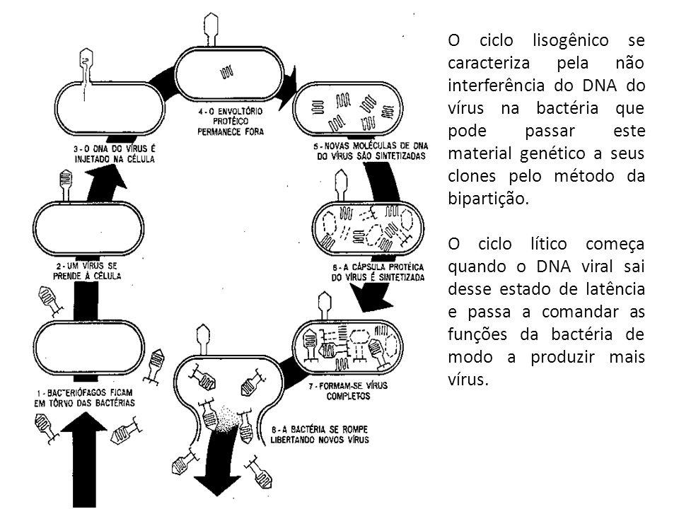 O ciclo lisogênico se caracteriza pela não interferência do DNA do vírus na bactéria que pode passar este material genético a seus clones pelo método