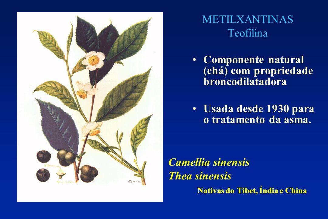 METILXANTINAS Teofilina Componente natural (chá) com propriedade broncodilatadora Usada desde 1930 para o tratamento da asma. Camellia sinensis Thea s