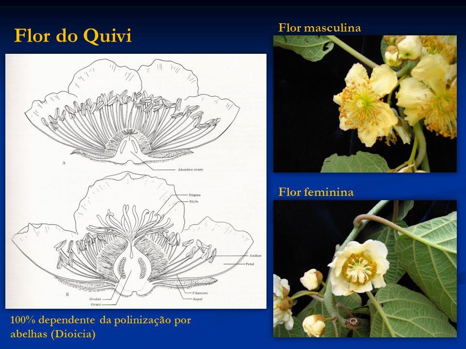 Flor do Quivi Flor masculina Flor feminina 100% dependente da polinização por abelhas (Dioicia)