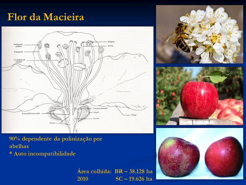Flor da Macieira 90% dependente da polinização por abelhas * Auto incompatibilidade Área colhida: BR – 38.128 ha 2010 SC – 19.626 ha