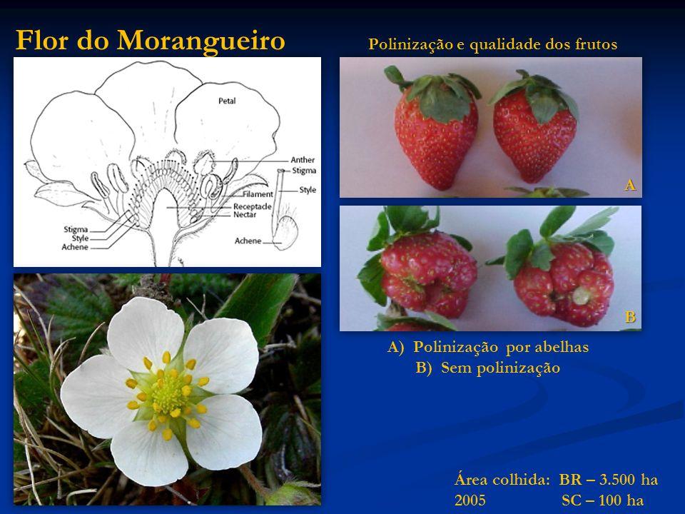 Flor do Morangueiro A)Polinização por abelhas B)Sem polinização A B Polinização e qualidade dos frutos Área colhida: BR – 3.500 ha 2005 SC – 100 ha