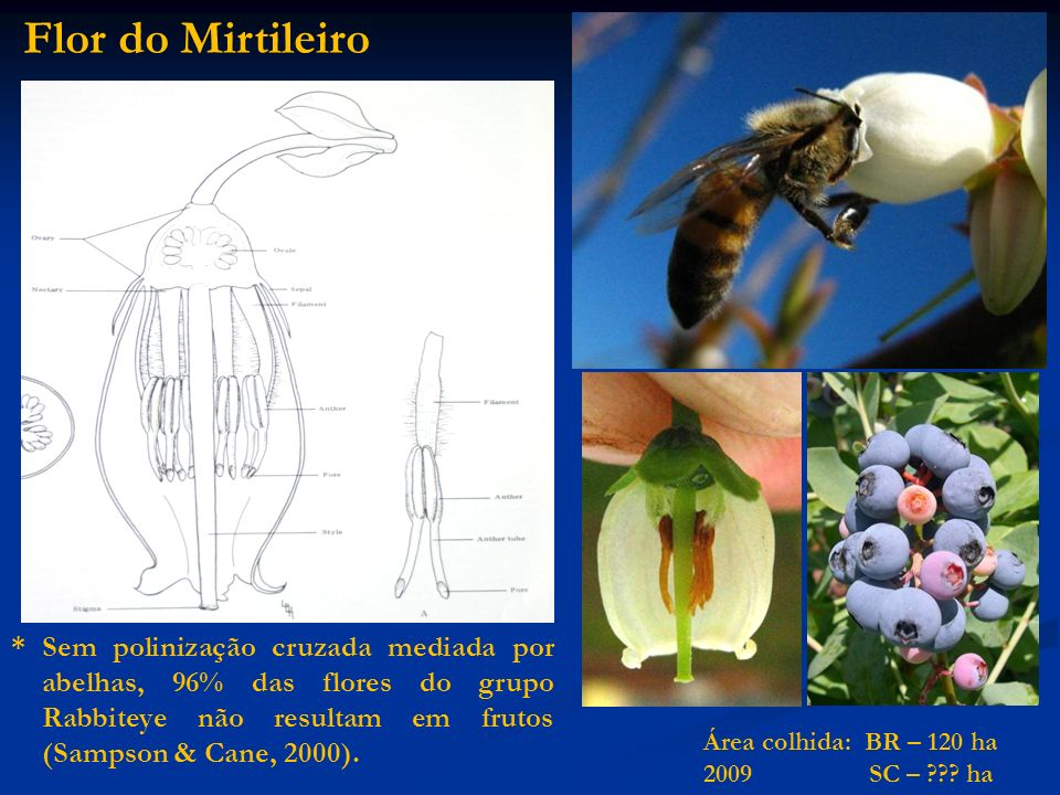 Flor do Mirtileiro * Sem polinização cruzada mediada por abelhas, 96% das flores do grupo Rabbiteye não resultam em frutos (Sampson & Cane, 2000). Áre