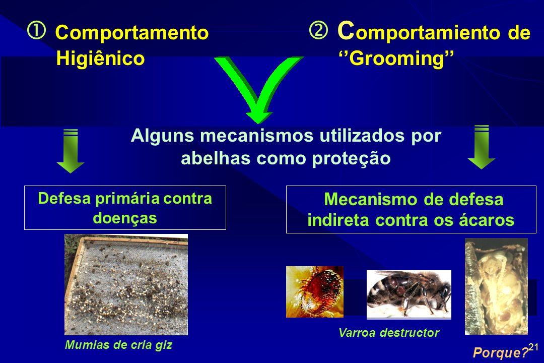 21 Comportamento Higiênico C omportamiento de Grooming Alguns mecanismos utilizados por abelhas como proteção Defesa primária contra doenças Mecanismo de defesa indireta contra os ácaros Varroa destructor Porque.