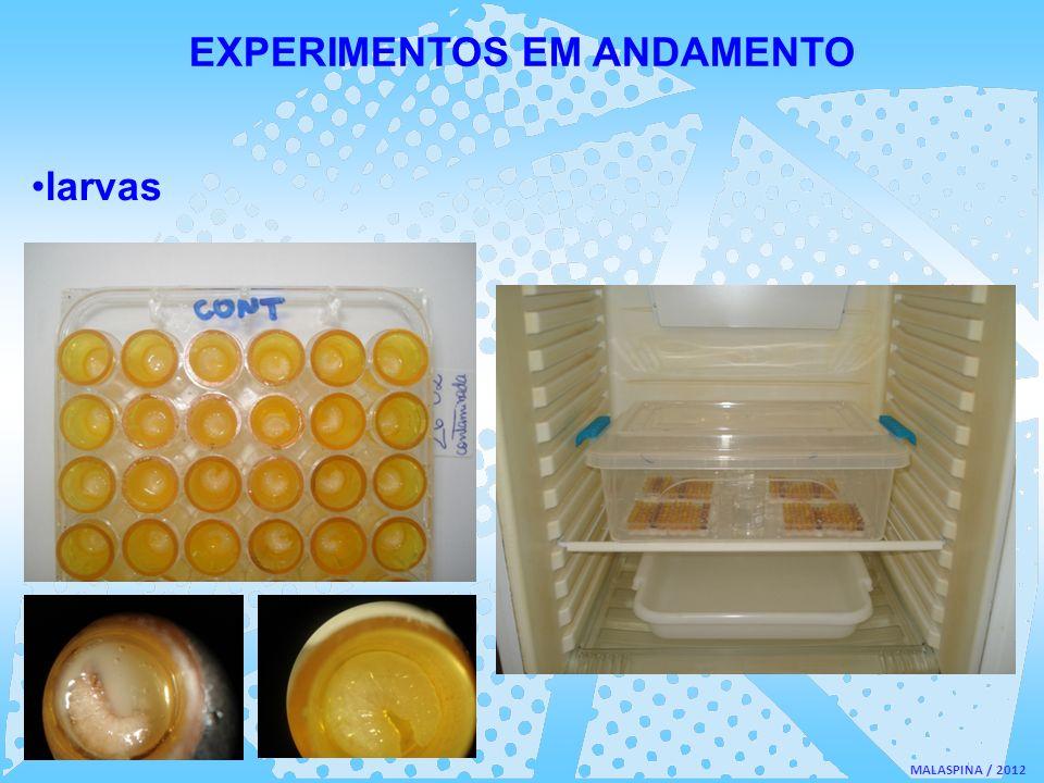 MALASPINA / 2012 EXPERIMENTOS EM ANDAMENTO larvas