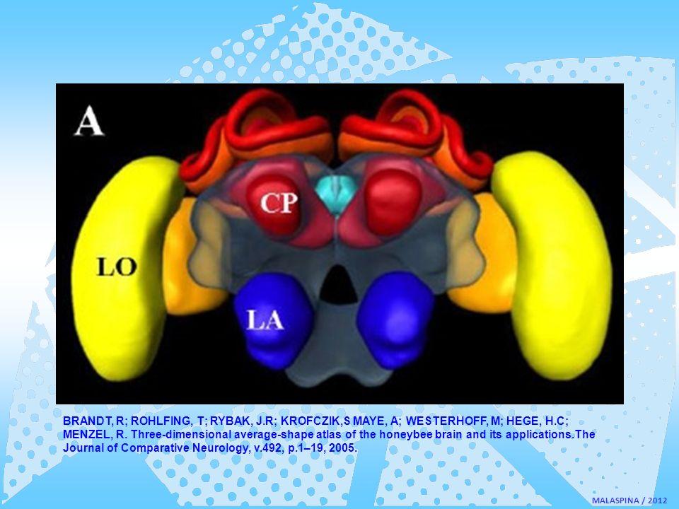 MALASPINA / 2012 BRANDT, R; ROHLFING, T; RYBAK, J.R; KROFCZIK,S MAYE, A; WESTERHOFF, M; HEGE, H.C; MENZEL, R. Three-dimensional average-shape atlas of