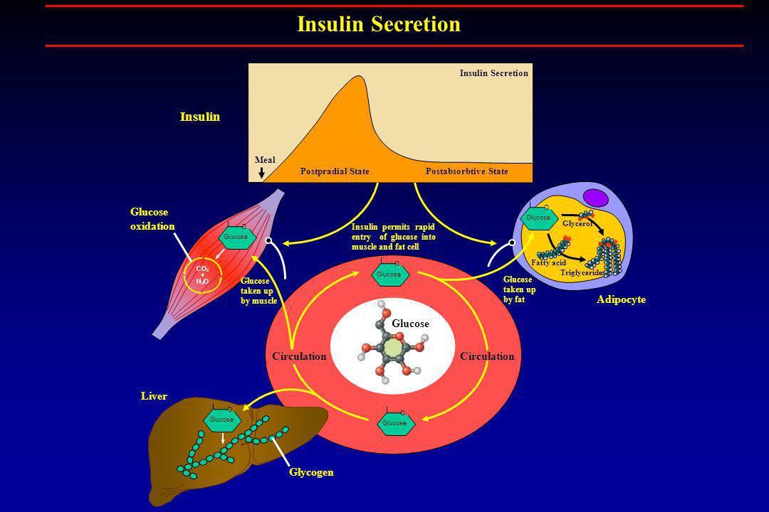 Glucose O CO 2 + H 2 O Glucose O O Triglycerides Fatty acid Glycerol Glycogen Liver Glucose taken up by fat Glucose taken up by muscle Glucose oxidati