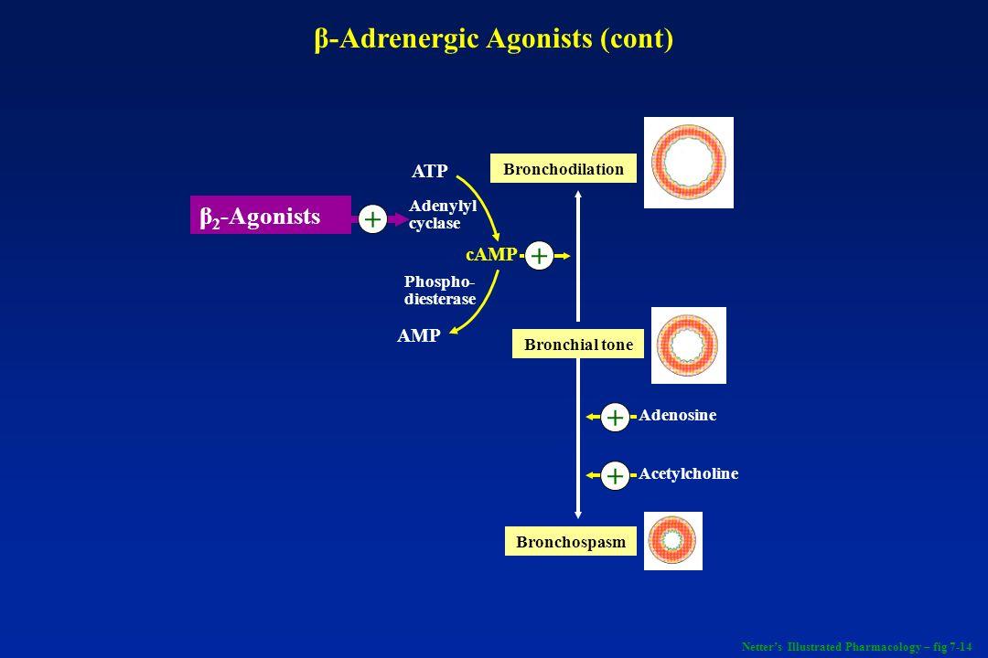 β 2 -Agonists + ATP AMP Adenylyl cyclase Phospho- diesterase cAMP + Bronchospasm Bronchial tone Bronchodilation Adenosine Acetylcholine + + β-Adrenerg