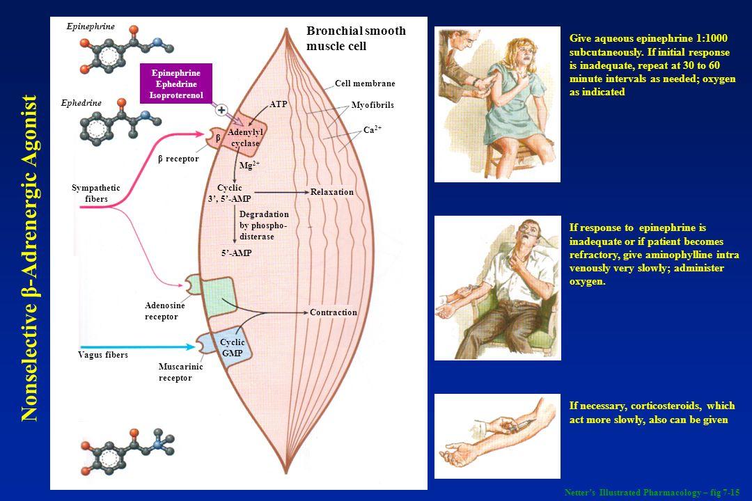 Epinephrine Ephedrine β receptor Adenosine receptor Muscarinic receptor Vagus fibers Sympathetic fibers Cyclic GMP Adenylyl cyclase β ATP Mg 2+ Cyclic
