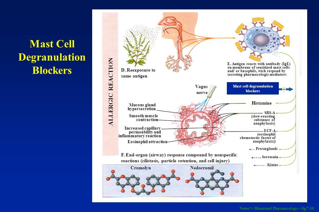 B 2 -Agonists + Theophylline - ATP AMP Adenylyl cyclase Phospho- diesterase cAMP + Theophylline - Muscarinic antagonists - Bronchospasm Bronchial tone Bronchodilation Adenosine Acetylcholine + + Respiratory System - Bronchodilators Netters Illustrated Pharmacology – fig 7-11