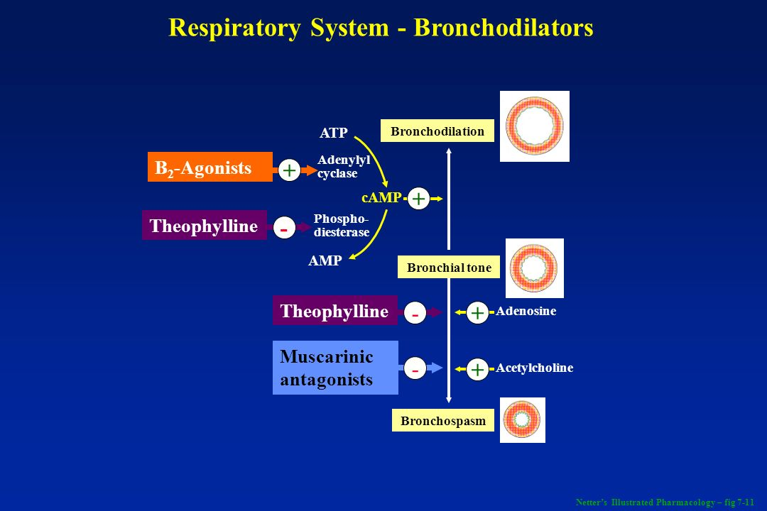 B 2 -Agonists + Theophylline - ATP AMP Adenylyl cyclase Phospho- diesterase cAMP + Theophylline - Muscarinic antagonists - Bronchospasm Bronchial tone