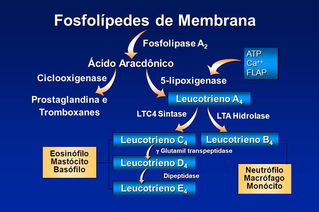 Fosfolípedes de Membrana Fosfolipase A 2 Ácido Aracdônico Ciclooxigenase 5-lipoxigenase Prostaglandina e Tromboxanes Eosinófilo Mastócito Basófilo ATP