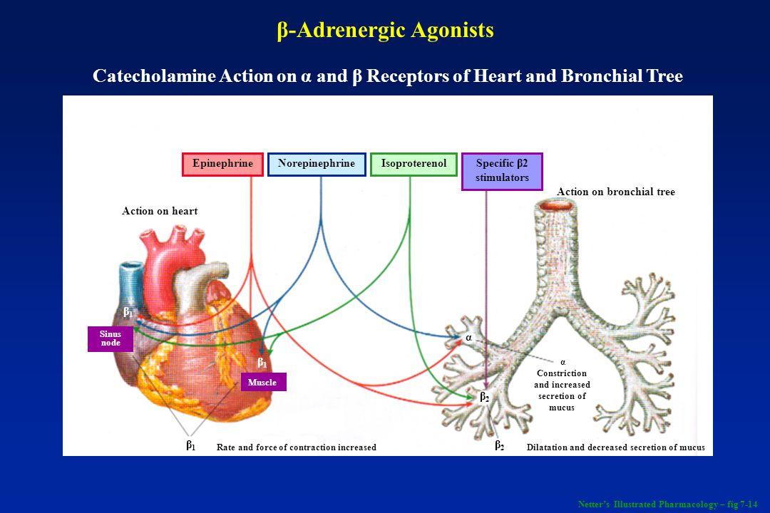 β 2 -Agonists + ATP AMP Adenylyl cyclase Phospho- diesterase cAMP + Bronchospasm Bronchial tone Bronchodilation Adenosine Acetylcholine + + β-Adrenergic Agonists (cont) Netters Illustrated Pharmacology – fig 7-14