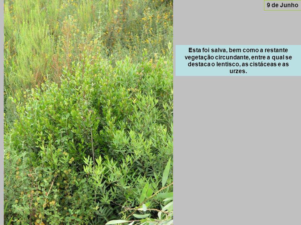 Esta foi salva, bem como a restante vegetação circundante, entre a qual se destaca o lentisco, as cistáceas e as urzes.