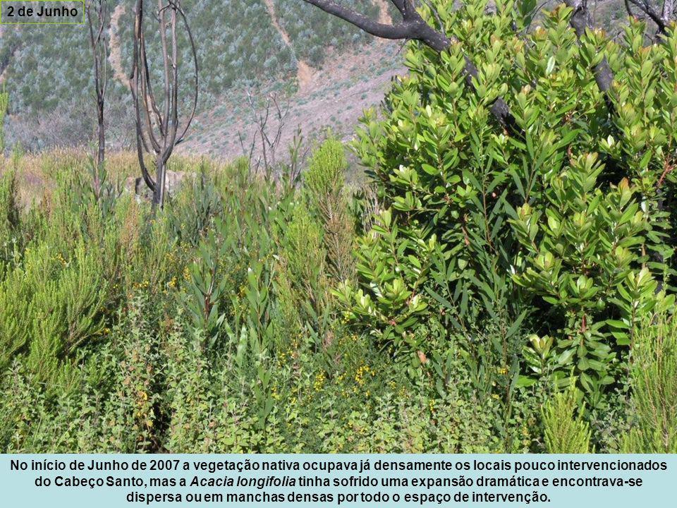 No início de Junho de 2007 a vegetação nativa ocupava já densamente os locais pouco intervencionados do Cabeço Santo, mas a Acacia longifolia tinha sofrido uma expansão dramática e encontrava-se dispersa ou em manchas densas por todo o espaço de intervenção.