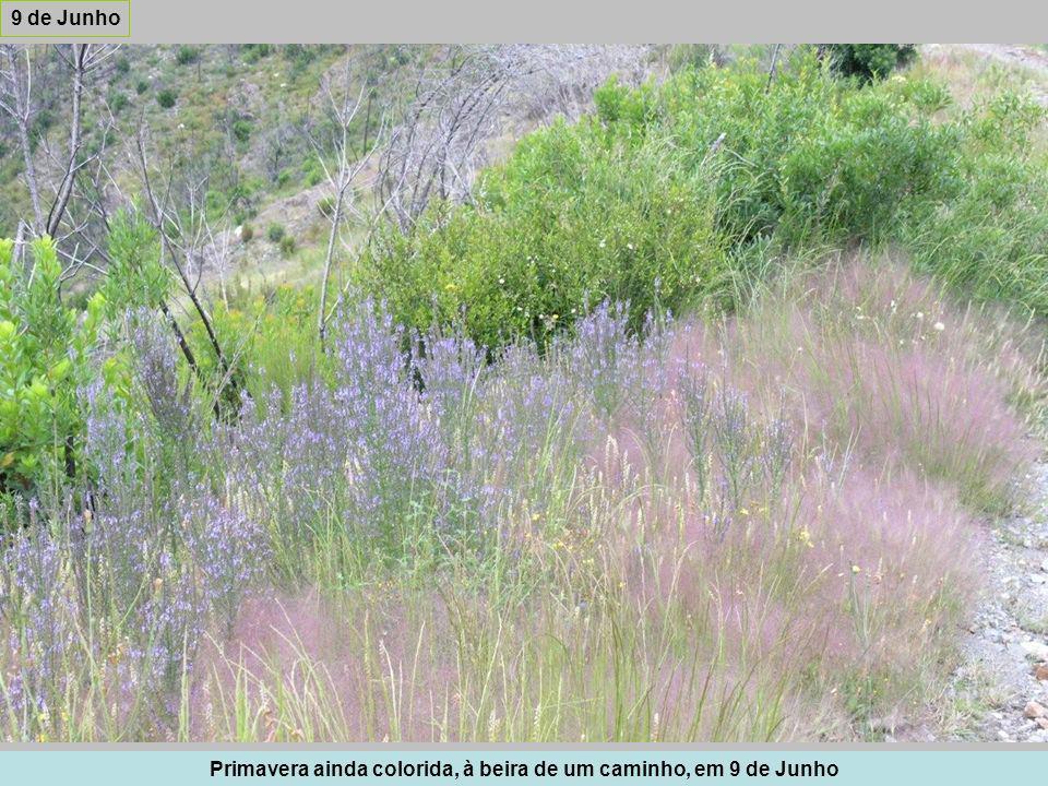 Primavera ainda colorida, à beira de um caminho, em 9 de Junho 9 de Junho