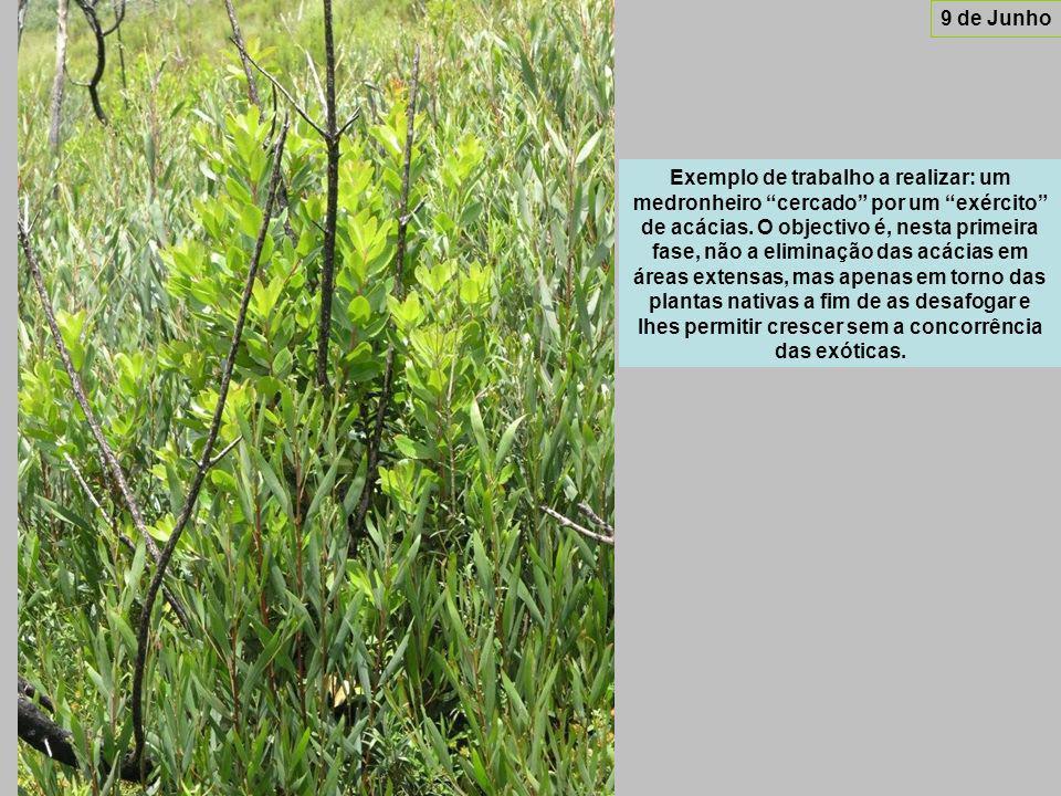 Exemplo de trabalho a realizar: um medronheiro cercado por um exército de acácias.