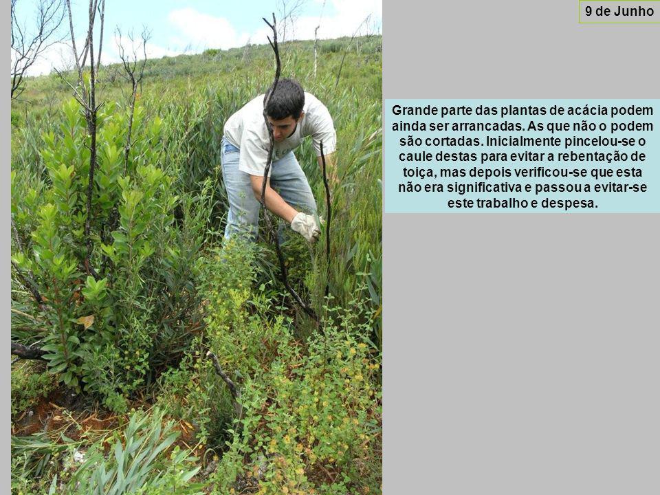 Grande parte das plantas de acácia podem ainda ser arrancadas.