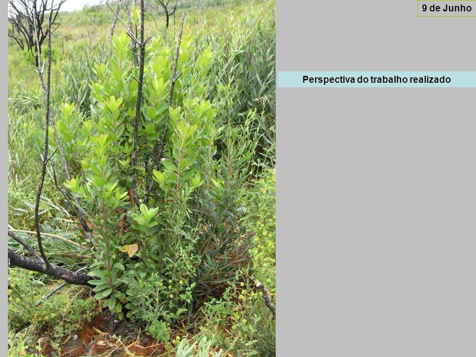 No caso das murtas, que são plantas de menor porte do que os medronheiros, as acácias já apresentam muitas vezes uma altura muito superior às primeiras.
