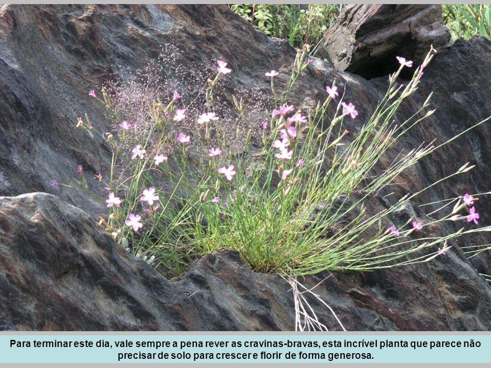 Para terminar este dia, vale sempre a pena rever as cravinas-bravas, esta incrível planta que parece não precisar de solo para crescer e florir de for