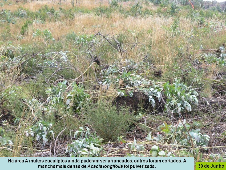 Na área A muitos eucaliptos ainda puderam ser arrancados, outros foram cortados. A mancha mais densa de Acacia longifolia foi pulverizada. 30 de Junho