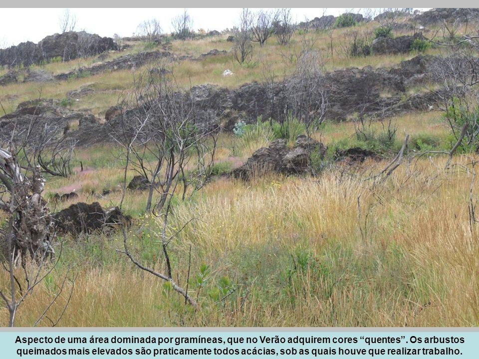 Aspecto de uma área dominada por gramíneas, que no Verão adquirem cores quentes. Os arbustos queimados mais elevados são praticamente todos acácias, s