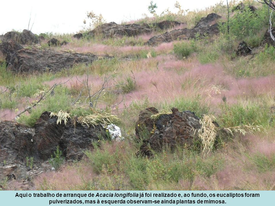 Aqui o trabalho de arranque de Acacia longifolia já foi realizado e, ao fundo, os eucaliptos foram pulverizados, mas à esquerda observam-se ainda plan