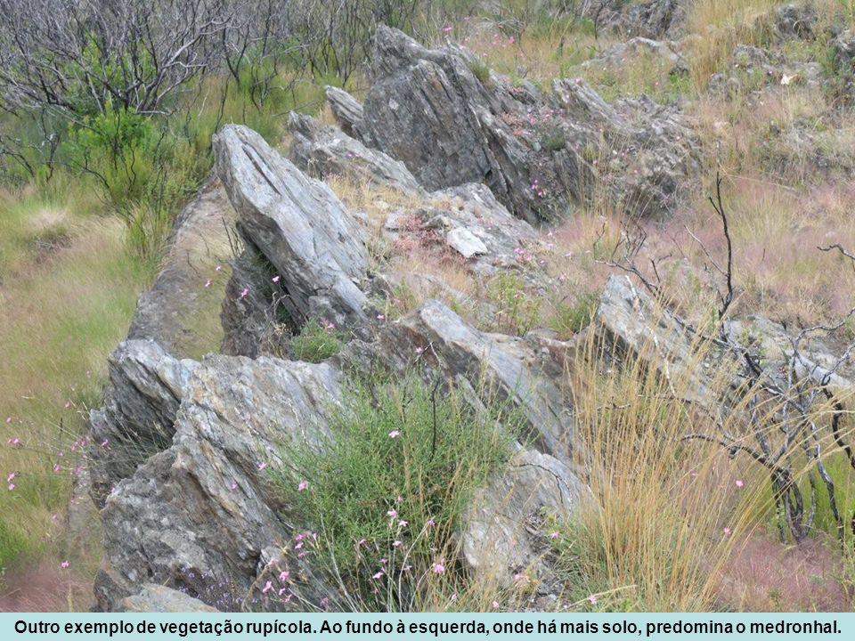 Outro exemplo de vegetação rupícola. Ao fundo à esquerda, onde há mais solo, predomina o medronhal.