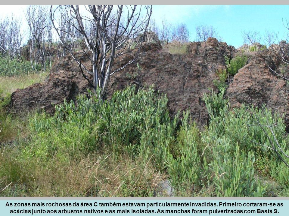 As zonas mais rochosas da área C também estavam particularmente invadidas. Primeiro cortaram-se as acácias junto aos arbustos nativos e as mais isolad