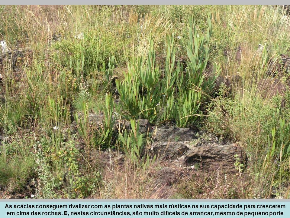 As acácias conseguem rivalizar com as plantas nativas mais rústicas na sua capacidade para crescerem em cima das rochas. E, nestas circunstâncias, são