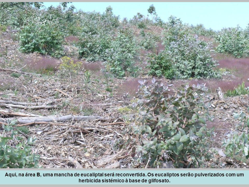 Aqui, na área B, uma mancha de eucaliptal será reconvertida. Os eucaliptos serão pulverizados com um herbicida sistémico à base de glifosato.