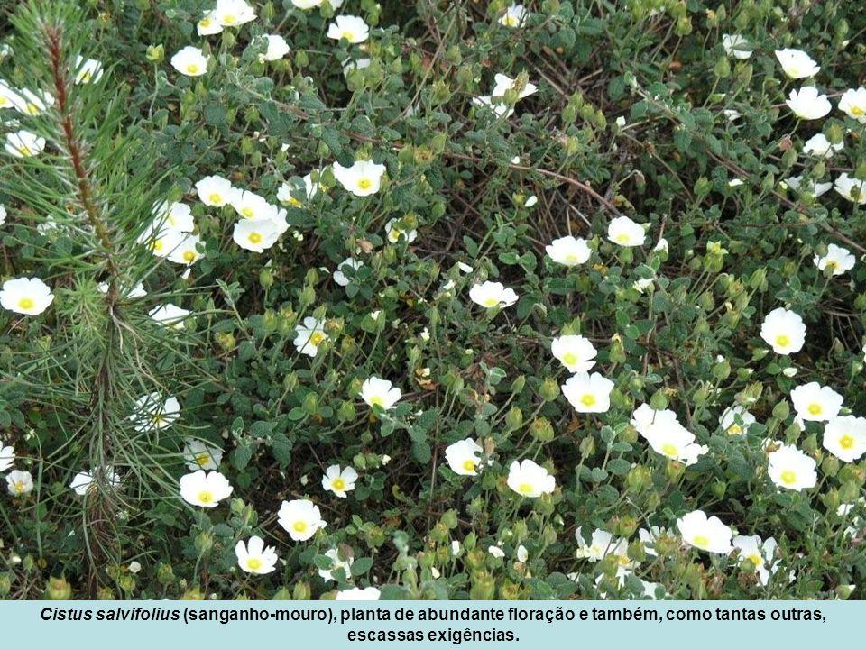 Cistus salvifolius (sanganho-mouro), planta de abundante floração e também, como tantas outras, escassas exigências.
