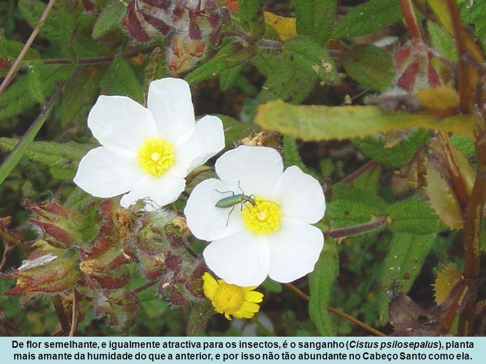 De flor semelhante, e igualmente atractiva para os insectos, é o sanganho (Cistus psilosepalus), planta mais amante da humidade do que a anterior, e p