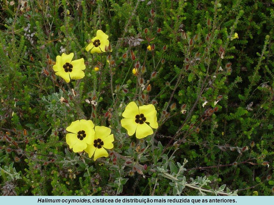 Halimum ocymoides, cistácea de distribuição mais reduzida que as anteriores.