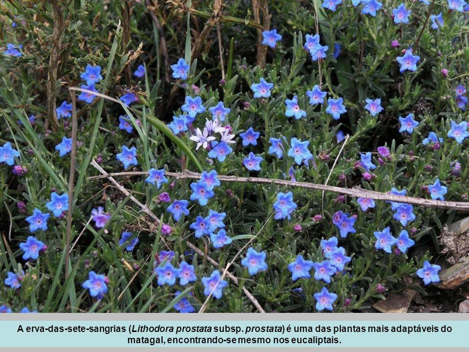 A erva-das-sete-sangrias (Lithodora prostata subsp. prostata) é uma das plantas mais adaptáveis do matagal, encontrando-se mesmo nos eucaliptais.