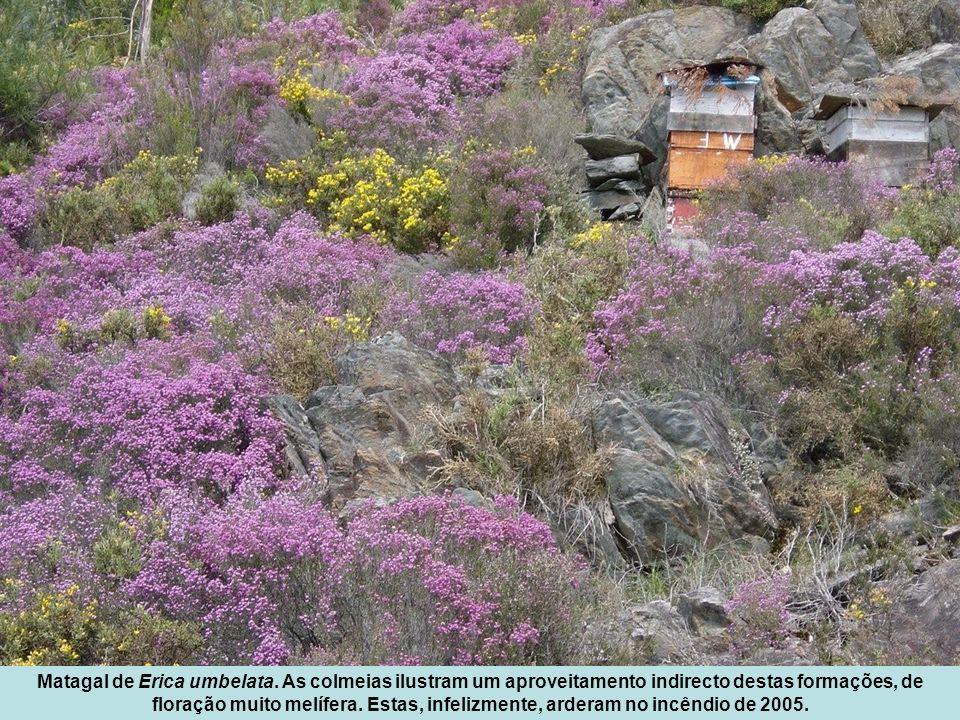 Matagal de Erica umbelata. As colmeias ilustram um aproveitamento indirecto destas formações, de floração muito melífera. Estas, infelizmente, arderam