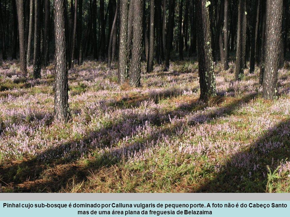 Pinhal cujo sub-bosque é dominado por Calluna vulgaris de pequeno porte. A foto não é do Cabeço Santo mas de uma área plana da freguesia de Belazaima