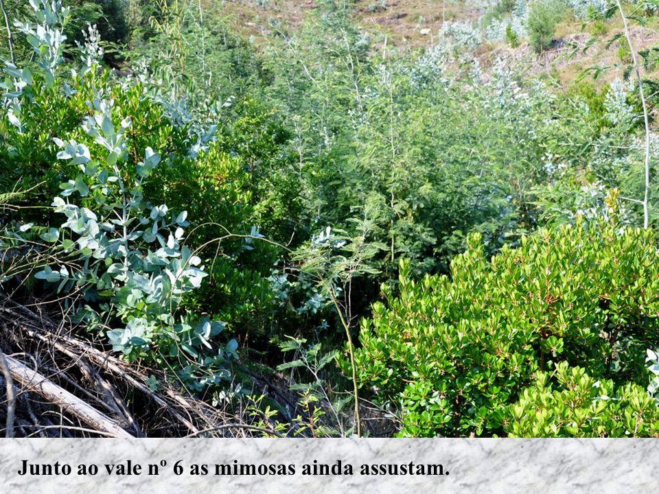 Junto ao vale nº 6 as mimosas ainda assustam.