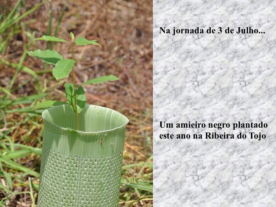 Um amieiro negro plantado este ano na Ribeira do Tojo Na jornada de 3 de Julho...