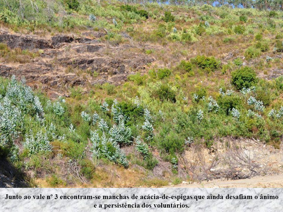 Junto ao vale nº 3 encontram-se manchas de acácia-de-espigas que ainda desafiam o ânimo e a persistência dos voluntários.
