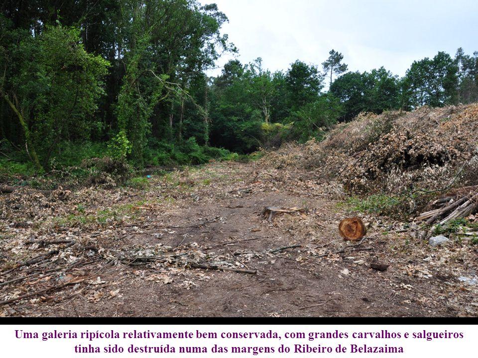 Uma galeria ripícola relativamente bem conservada, com grandes carvalhos e salgueiros tinha sido destruída numa das margens do Ribeiro de Belazaima