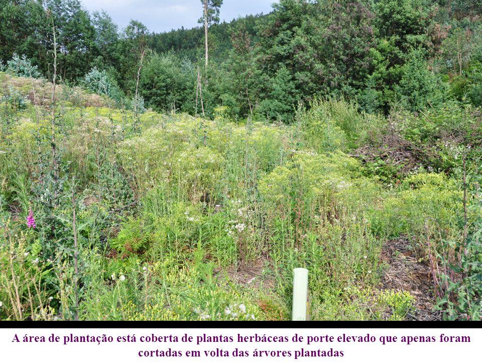 A área de plantação está coberta de plantas herbáceas de porte elevado que apenas foram cortadas em volta das árvores plantadas