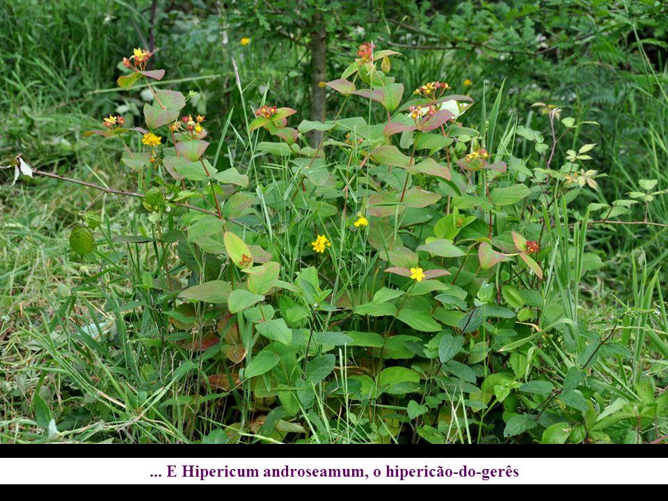 ... E Hipericum androseamum, o hipericão-do-gerês