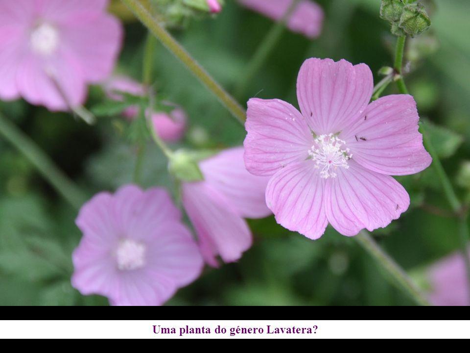 Uma planta do género Lavatera?