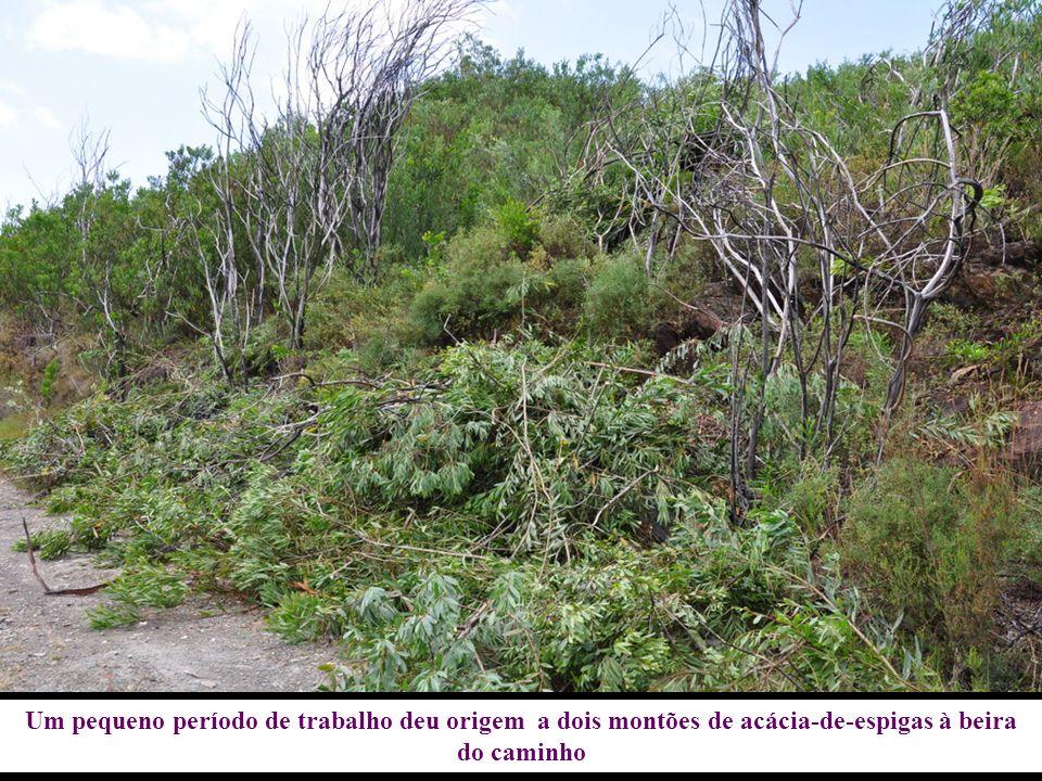 Um pequeno período de trabalho deu origem a dois montões de acácia-de-espigas à beira do caminho