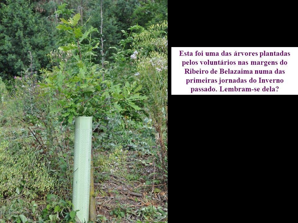 Esta foi uma das árvores plantadas pelos voluntários nas margens do Ribeiro de Belazaima numa das primeiras jornadas do Inverno passado. Lembram-se de